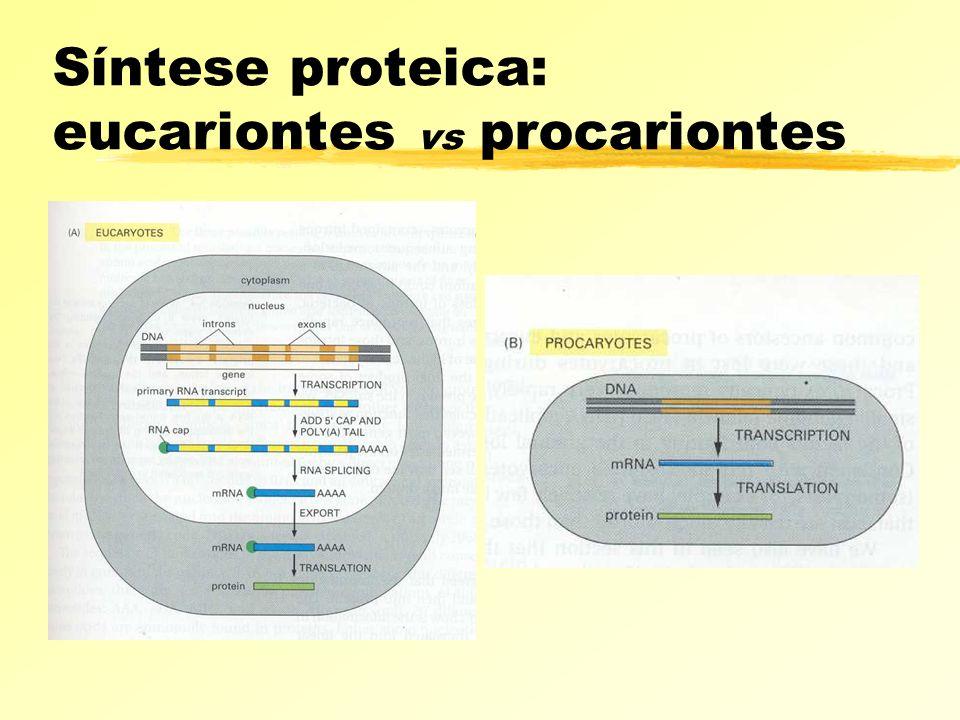 Síntese proteica: eucariontes vs procariontes
