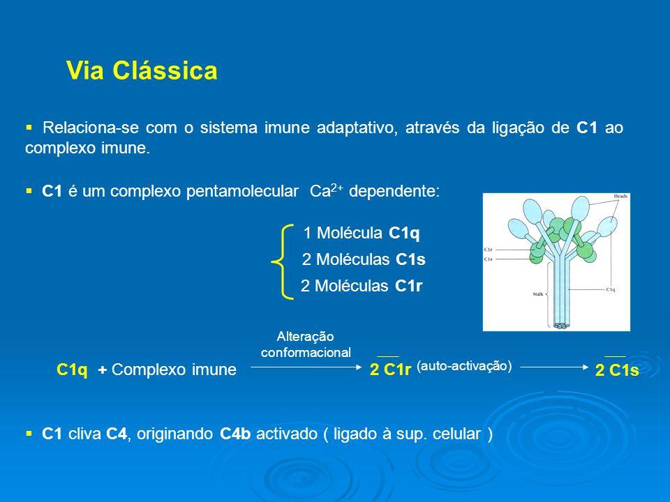Via Clássica Relaciona-se com o sistema imune adaptativo, através da ligação de C1 ao complexo imune.