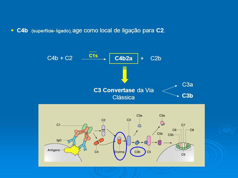 C4b (superfície- ligado), age como local de ligação para C2.