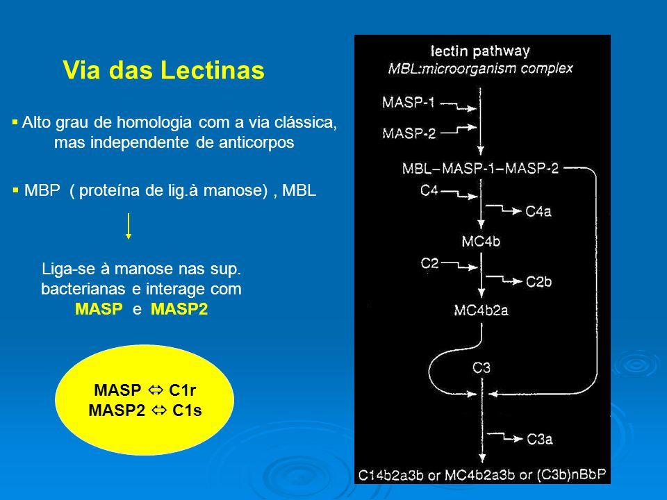 Via das Lectinas Alto grau de homologia com a via clássica, mas independente de anticorpos MBP ( proteína de lig.à manose), MBL Liga-se à manose nas sup.