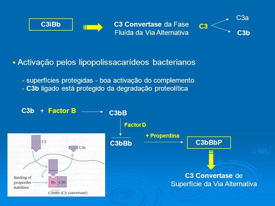 C3iBb C3 Convertase da Fase Fluída da Via Alternativa C3a C3b C3 Activação pelos lipopolissacarídeos bacterianos - superfícies protegidas - boa activação do complemento - C3b ligado está protegido da degradação proteolítica C3b + Factor B C3bB Factor D C3 Convertase de Superfície da Via Alternativa + Properdina C3bBbP C3bBb