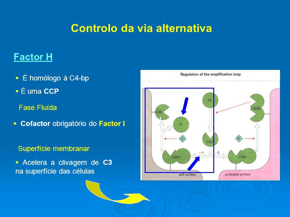 Controlo da via alternativa É homólogo à C4-bp É uma CCP Factor H Fase Fluída Cofactor obrigatório do Factor I Superfície membranar Acelera a clivagem de C3 na superfície das células