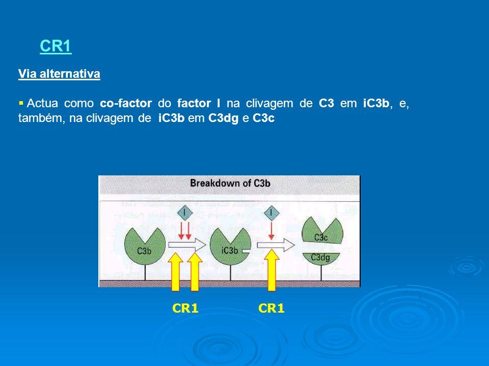 CR1 Via alternativa Actua como co-factor do factor I na clivagem de C3 em iC3b, e, também, na clivagem de iC3b em C3dg e C3c CR1
