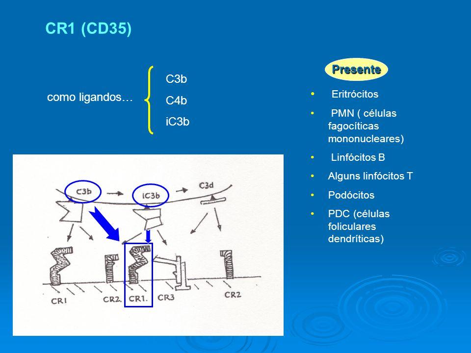 como ligandos… C3b C4b iC3b Eritrócitos PMN ( células fagocíticas mononucleares) Linfócitos B Alguns linfócitos T Podócitos PDC (células foliculares dendríticas) Presente CR1 (CD35)