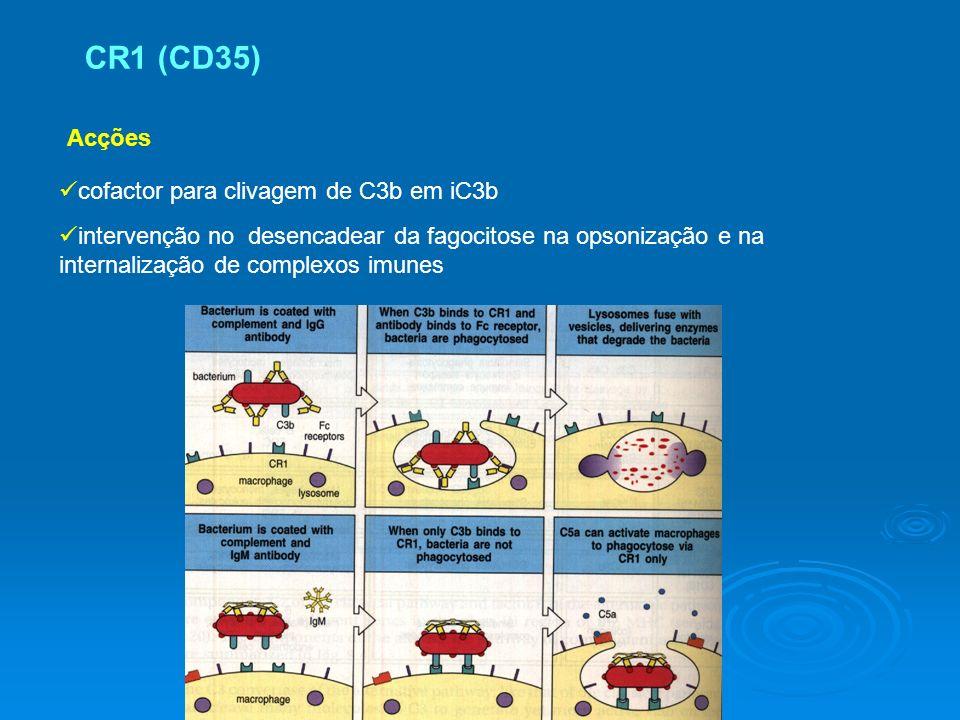 Acções cofactor para clivagem de C3b em iC3b intervenção no desencadear da fagocitose na opsonização e na internalização de complexos imunes CR1 (CD35)