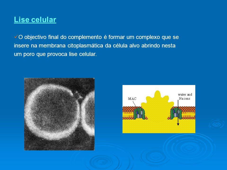 Lise celular O objectivo final do complemento é formar um complexo que se insere na membrana citoplasmática da célula alvo abrindo nesta um poro que provoca lise celular.