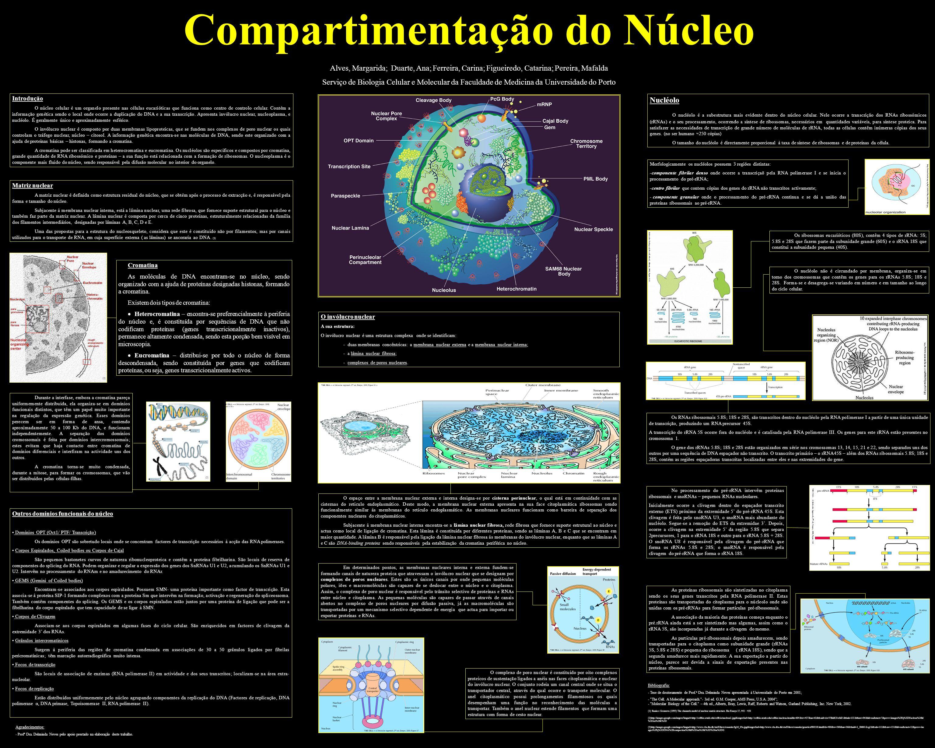 Compartimentação do Núcleo Alves, Margarida; Duarte, Ana; Ferreira, Carina; Figueiredo, Catarina; Pereira, Mafalda Serviço de Biologia Celular e Molec