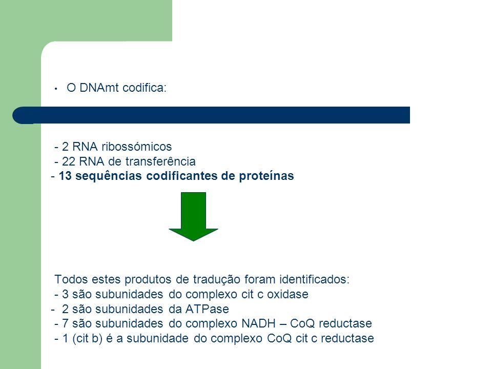 O DNAmt codifica: - 2 RNA ribossómicos - 22 RNA de transferência - 13 sequências codificantes de proteínas Todos estes produtos de tradução foram iden