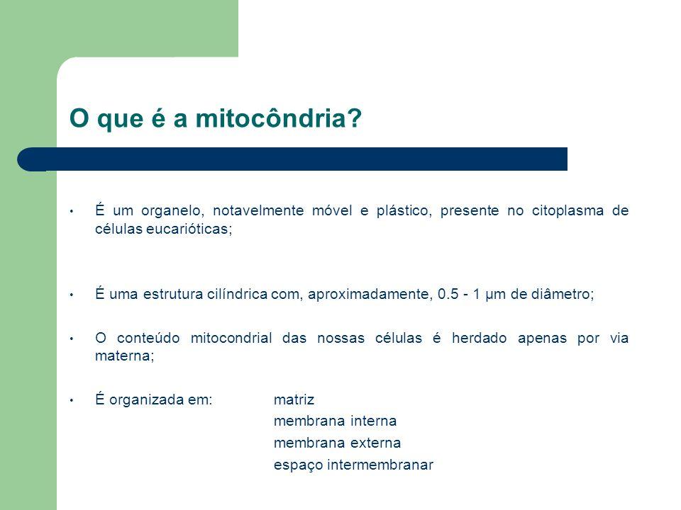 O que é a mitocôndria? É um organelo, notavelmente móvel e plástico, presente no citoplasma de células eucarióticas; É uma estrutura cilíndrica com, a