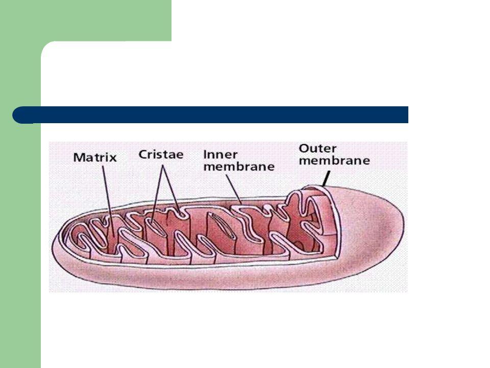 Realiza a maior parte das oxidações celulares e produz a energia celular das células animais: - O piruvato e os ác.gordos são convertidos em acetil CoA, o qual é oxidado a CO 2 no ciclo de Krebs; - Grandes quantidades de NADH E FADH 2 são produzidas por estas reacções de oxidação; - A energia disponível, pela combinação do oxigénio com os electrões levados pelo NADH e pelo FADH 2, é regulada por uma cadeia transportadora de electrões na membrana mitocondrial interna, denominada cadeia respiratória.