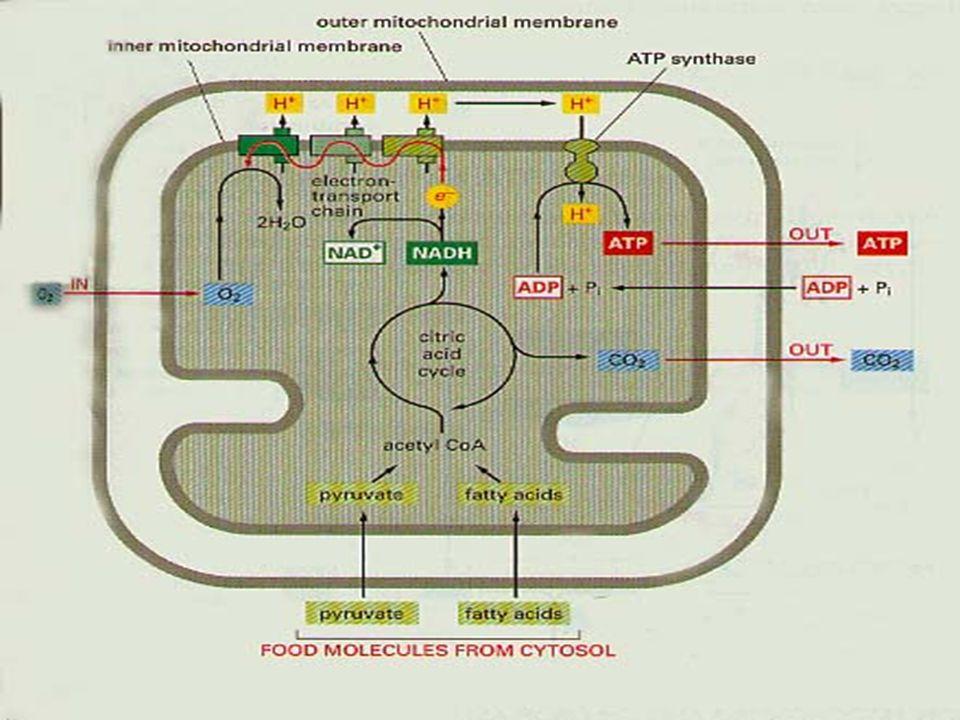Porquê o DNA mitocondrial.