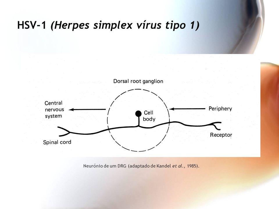 Neurónio de um DRG (adaptado de Kandel et al., 1985). HSV-1 (Herpes simplex vírus tipo 1)