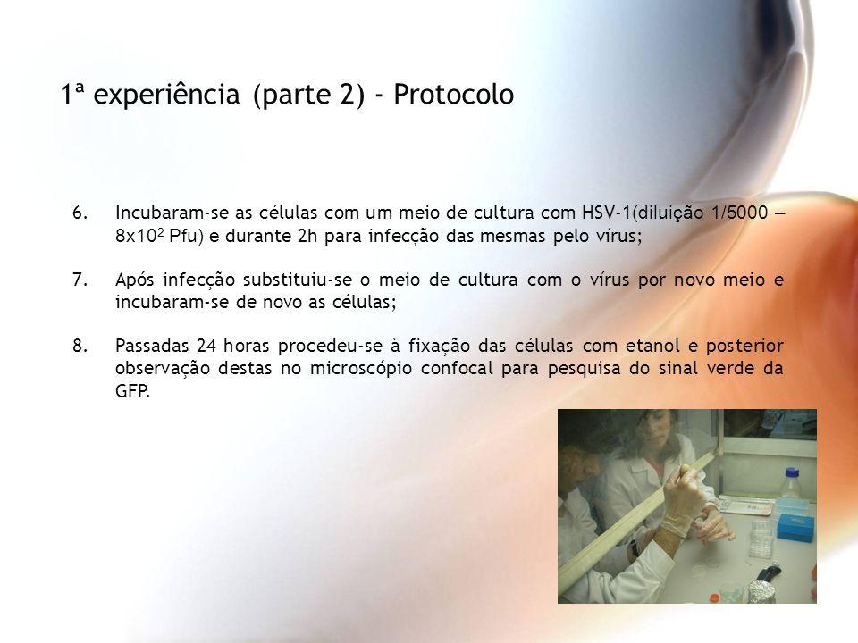 6.Incubaram-se as células com um meio de cultura com HSV-1 (diluição 1/5000 – 8x10 2 Pfu) e durante 2h para infecção das mesmas pelo vírus; 7.Após inf