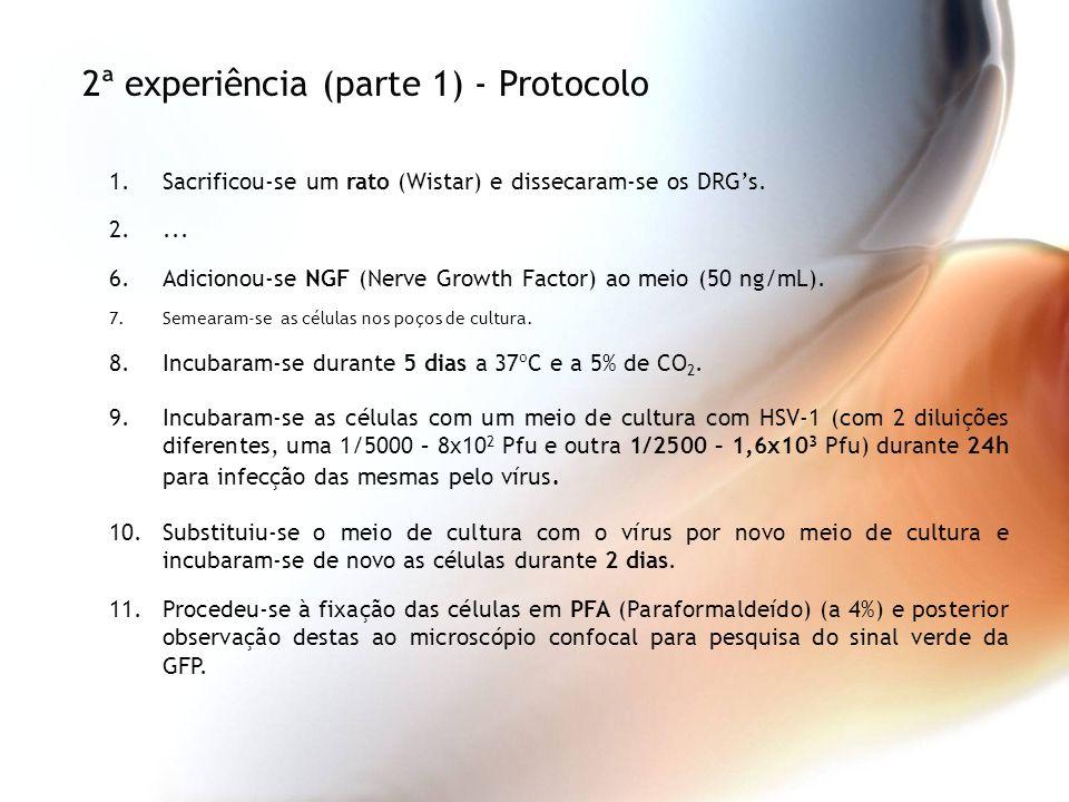 1.Sacrificou-se um rato (Wistar) e dissecaram-se os DRGs. 2.... 6.Adicionou-se NGF (Nerve Growth Factor) ao meio (50 ng/mL). 7.Semearam-se as células