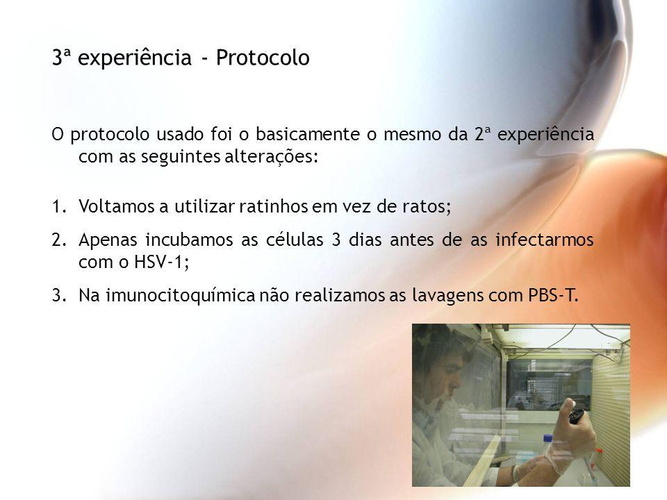 O protocolo usado foi o basicamente o mesmo da 2ª experiência com as seguintes alterações: 1.Voltamos a utilizar ratinhos em vez de ratos; 2.Apenas in
