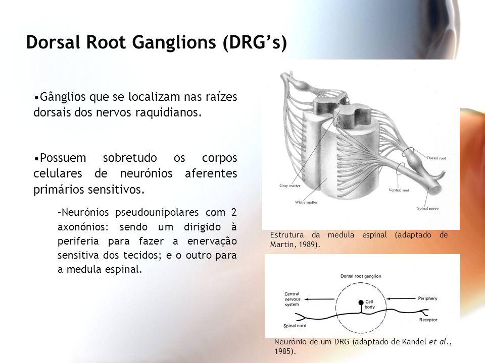 Gânglios que se localizam nas raízes dorsais dos nervos raquidianos. Possuem sobretudo os corpos celulares de neurónios aferentes primários sensitivos