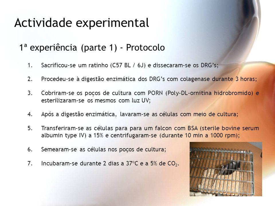 Actividade experimental 1ª experiência (parte 1) - Protocolo 1.Sacrificou-se um ratinho (C57 BL / 6J) e dissecaram-se os DRGs; 2.Procedeu-se à digestã