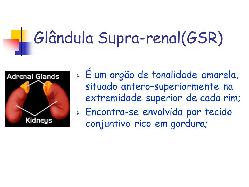 Glândula Supra-renal(GSR) É um orgão de tonalidade amarela, situado antero–superiormente na extremidade superior de cada rim; Encontra-se envolvida po