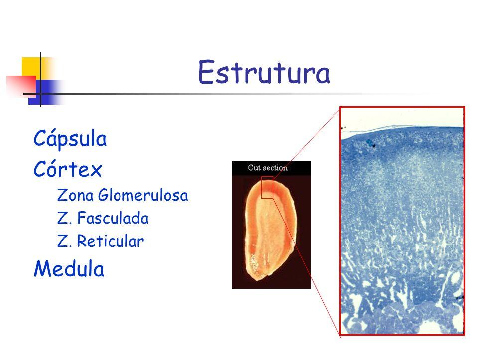Estrutura Cápsula Córtex Zona Glomerulosa Z. Fasculada Z. Reticular Medula