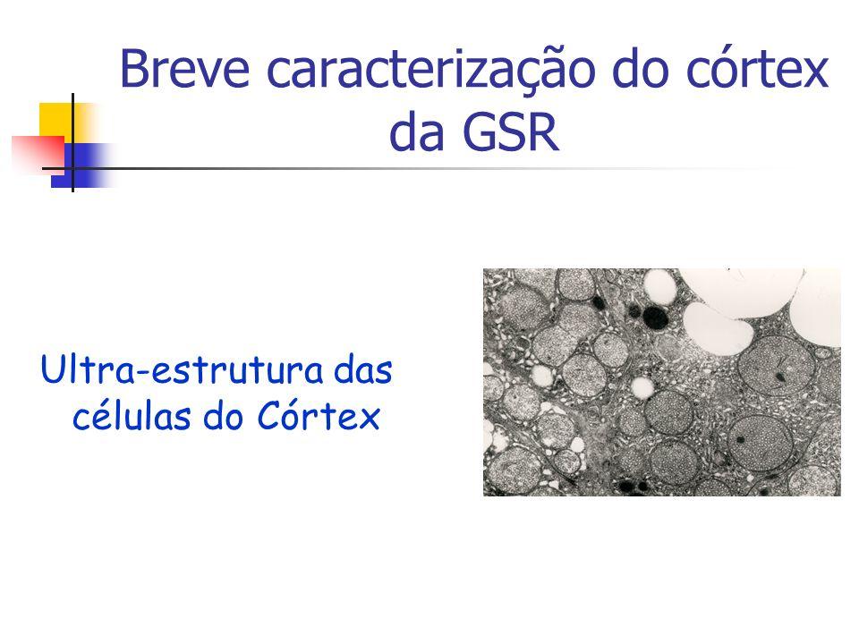 Breve caracterização do córtex da GSR Ultra-estrutura das células do Córtex