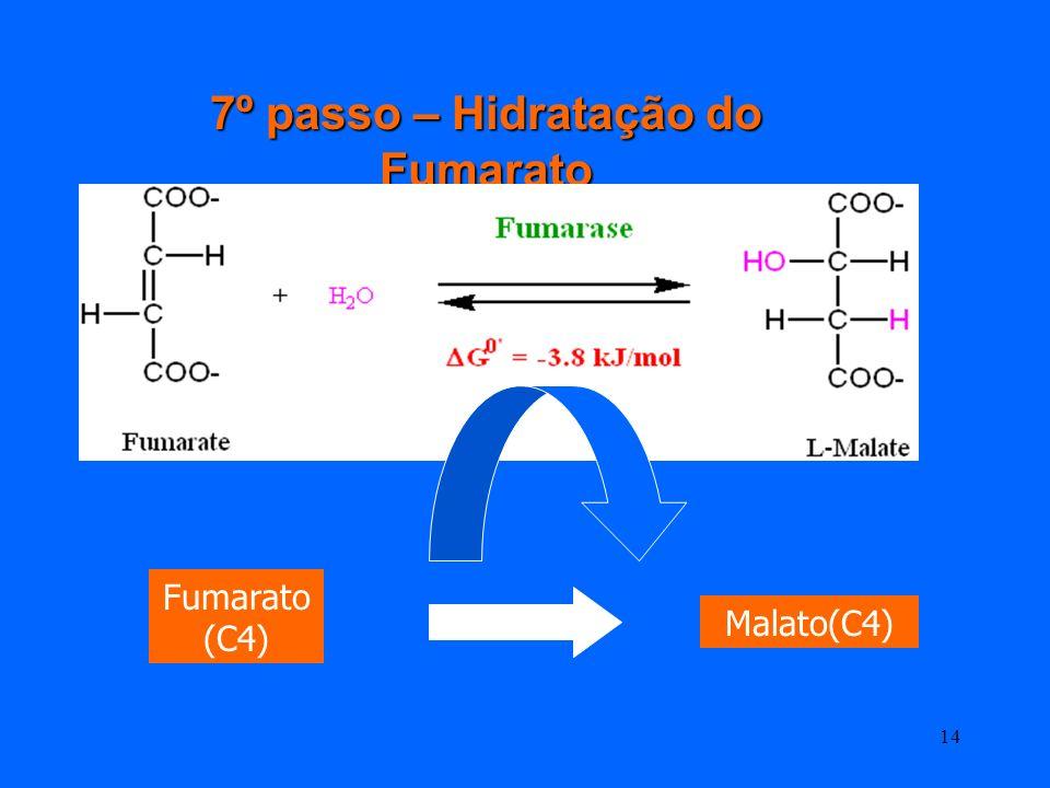 13 6º passo – Oxidação do succinato Succinato (C4) Fumarato (C4) A desidrogenase do succinato (complexo II) esta na membrana interna da mitocondria
