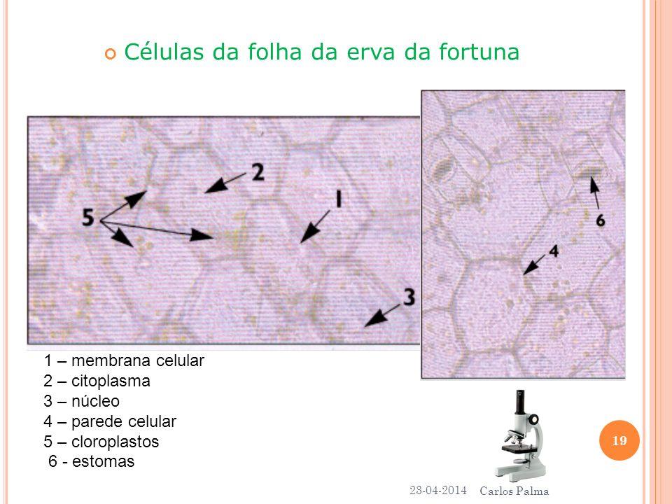 1 – membrana celular 2 – citoplasma 3 – núcleo 4 – parede celular 5 – cloroplastos 6 - estomas Células da folha da erva da fortuna 23-04-2014 19 Carlo