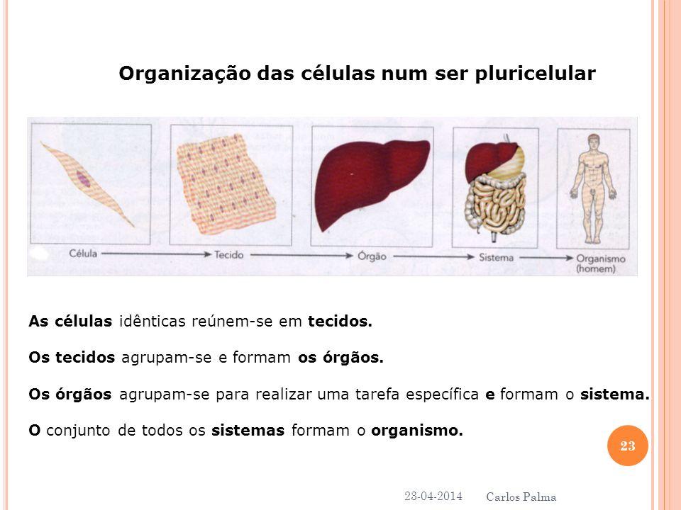Organização das células num ser pluricelular As células idênticas reúnem-se em tecidos. Os tecidos agrupam-se e formam os órgãos. Os órgãos agrupam-se