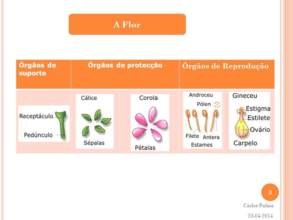 A Flor Órgãos de suporte Órgãos de protecção Órgãos de Reprodução 3 Carlos Palma 23-04-2014