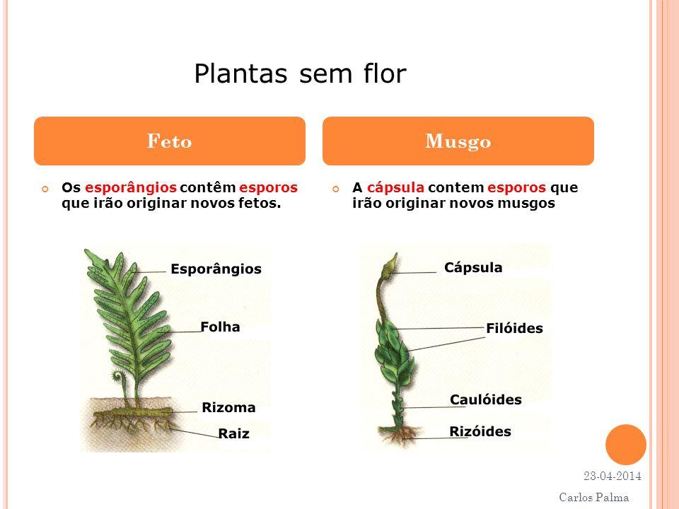 Os esporângios contêm esporos que irão originar novos fetos. A cápsula contem esporos que irão originar novos musgos FetoMusgo Plantas sem flor 23-04-