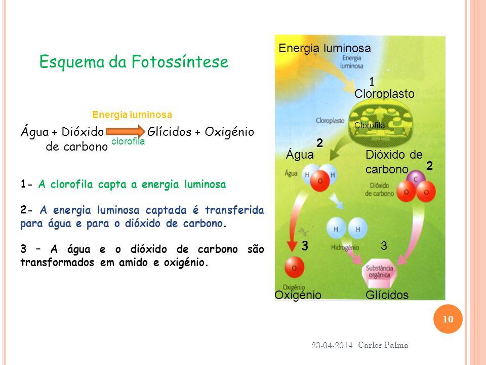 23-04-2014 Carlos Palma 10 1- A clorofila capta a energia luminosa 2- A energia luminosa captada é transferida para água e para o dióxido de carbono.