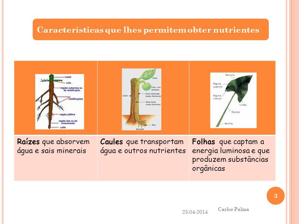 Acumulação de reservas pela planta 23-04-2014 Carlos Palma 14 Na época favorável, a planta obtém mais alimento do que aquele que necessita.