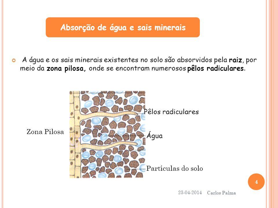 A água e os sais minerais, absorvidos pela raiz, são movimentados devido ao processo de transpiração da planta e transportados por vasos condutores ao longo do caule.