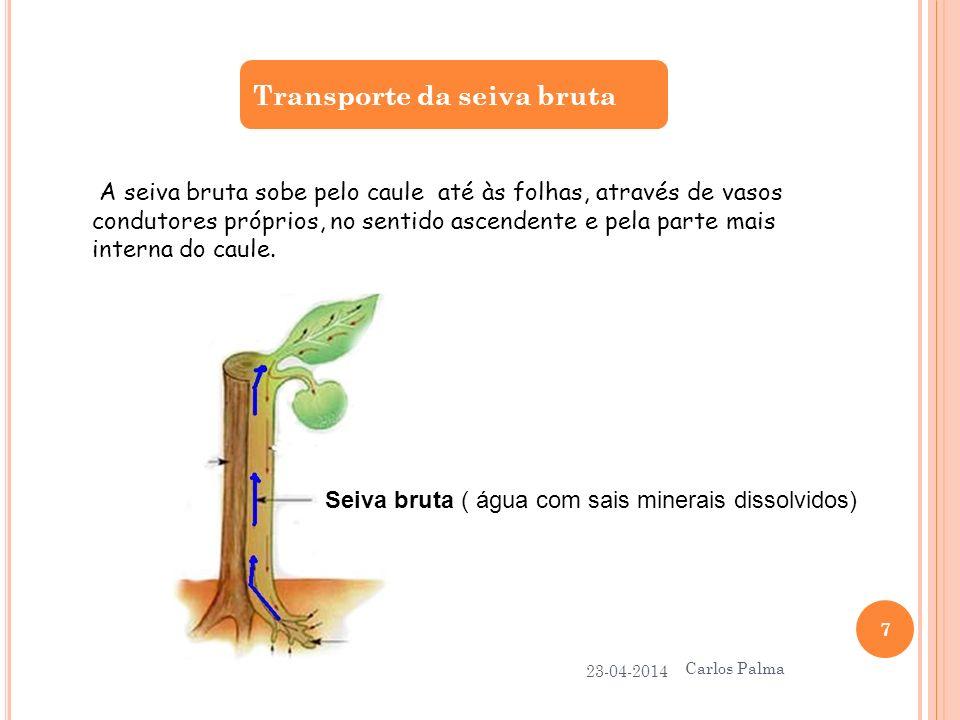 Transporte da seiva bruta 23-04-2014 Carlos Palma 7 A seiva bruta sobe pelo caule até às folhas, através de vasos condutores próprios, no sentido asce