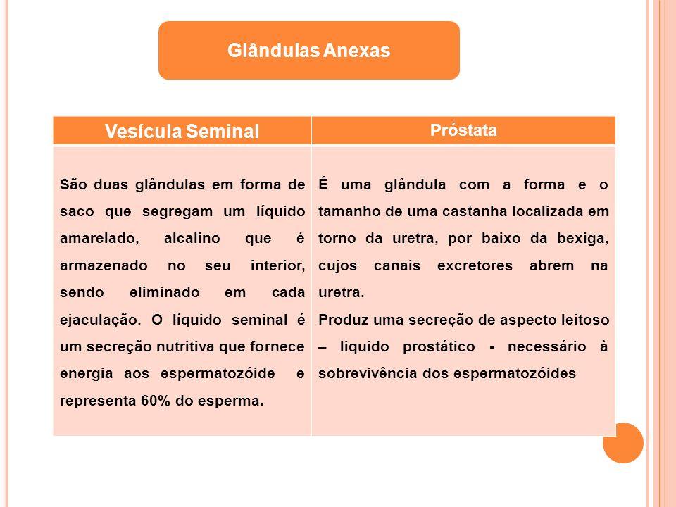 Vesícula Seminal Próstata São duas glândulas em forma de saco que segregam um líquido amarelado, alcalino que é armazenado no seu interior, sendo elim