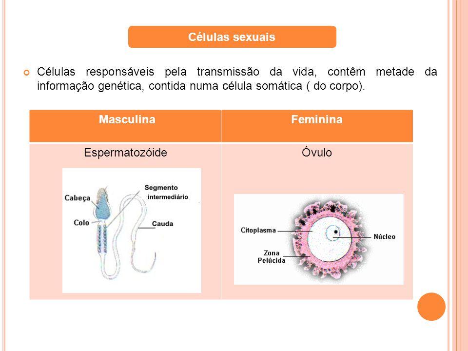 Células responsáveis pela transmissão da vida, contêm metade da informação genética, contida numa célula somática ( do corpo). Células sexuais Masculi