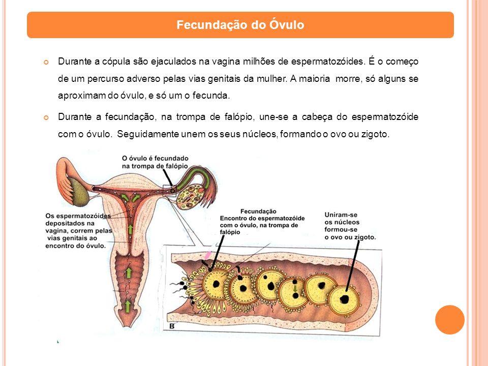 Durante a cópula são ejaculados na vagina milhões de espermatozóides. É o começo de um percurso adverso pelas vias genitais da mulher. A maioria morre