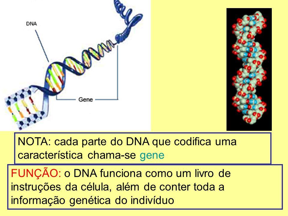 NOTA: cada parte do DNA que codifica uma característica chama-se gene FUNÇÃO: o DNA funciona como um livro de instruções da célula, além de conter tod