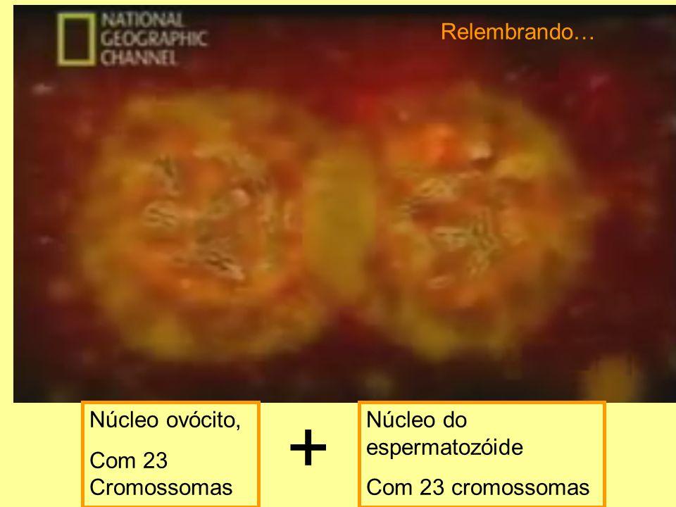 Núcleo ovócito, Com 23 Cromossomas Núcleo do espermatozóide Com 23 cromossomas + Relembrando…