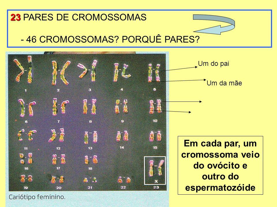 23 23 PARES DE CROMOSSOMAS - 46 CROMOSSOMAS? PORQUÊ PARES? Um da mãe Um do pai Em cada par, um cromossoma veio do ovócito e outro do espermatozóide