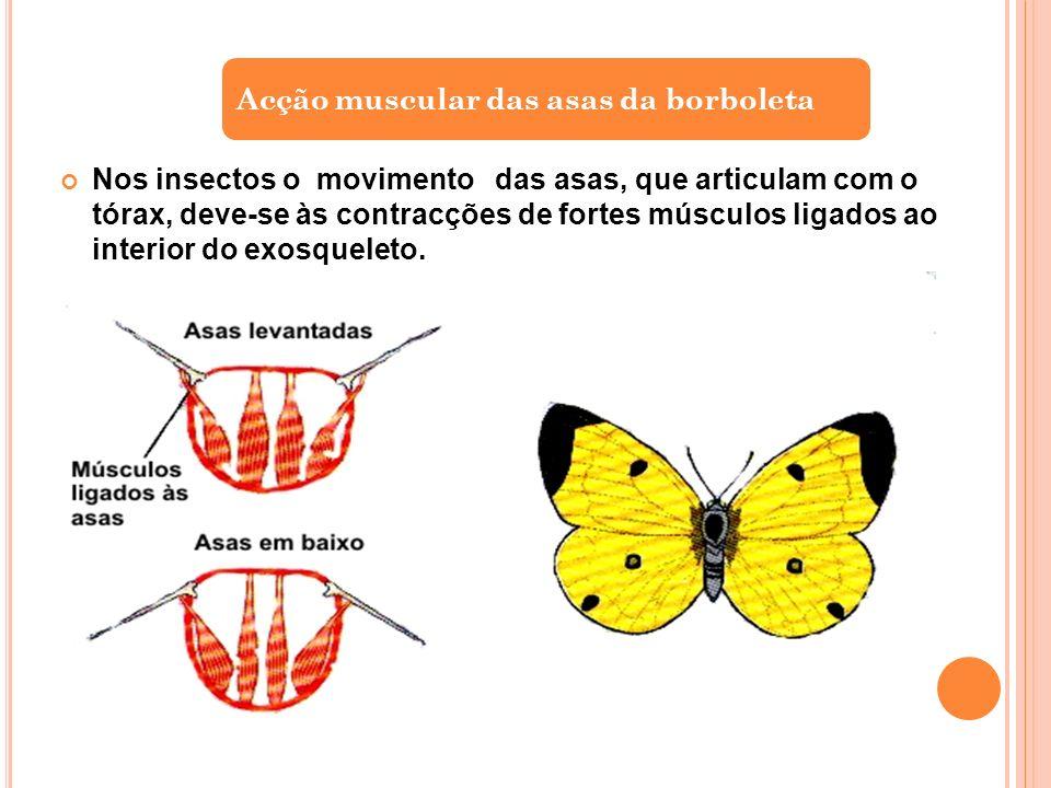 Nos insectos o movimento das asas, que articulam com o tórax, deve-se às contracções de fortes músculos ligados ao interior do exosqueleto.