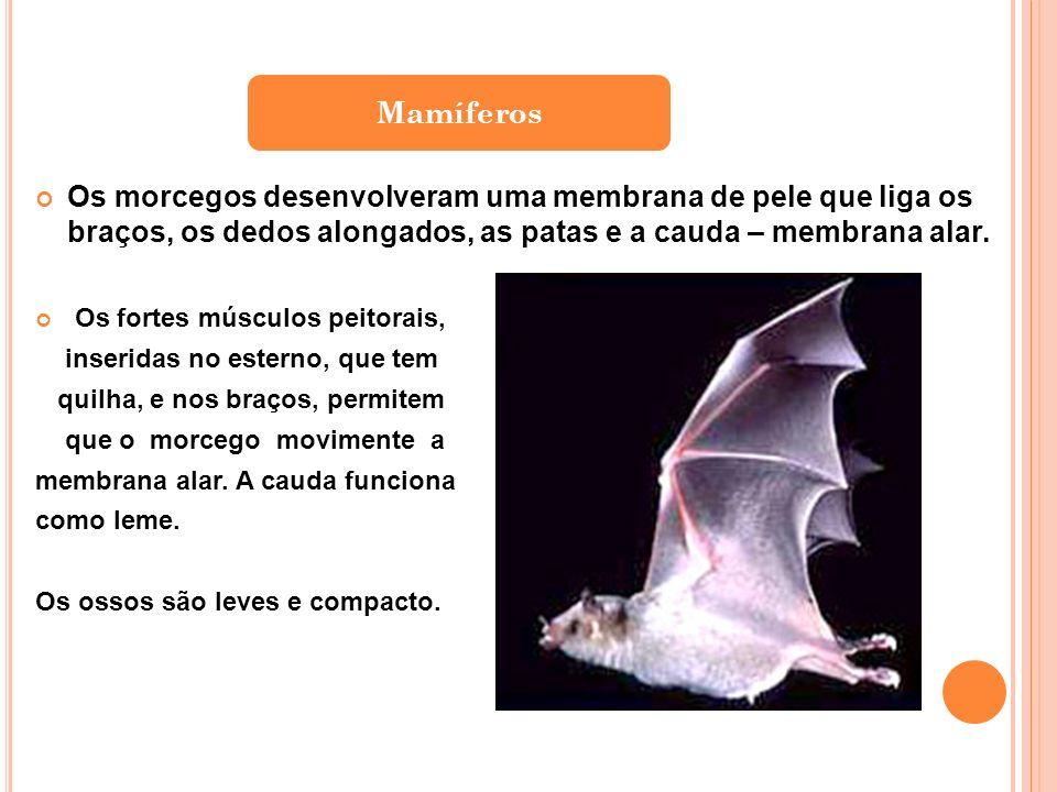 Os morcegos desenvolveram uma membrana de pele que liga os braços, os dedos alongados, as patas e a cauda – membrana alar.