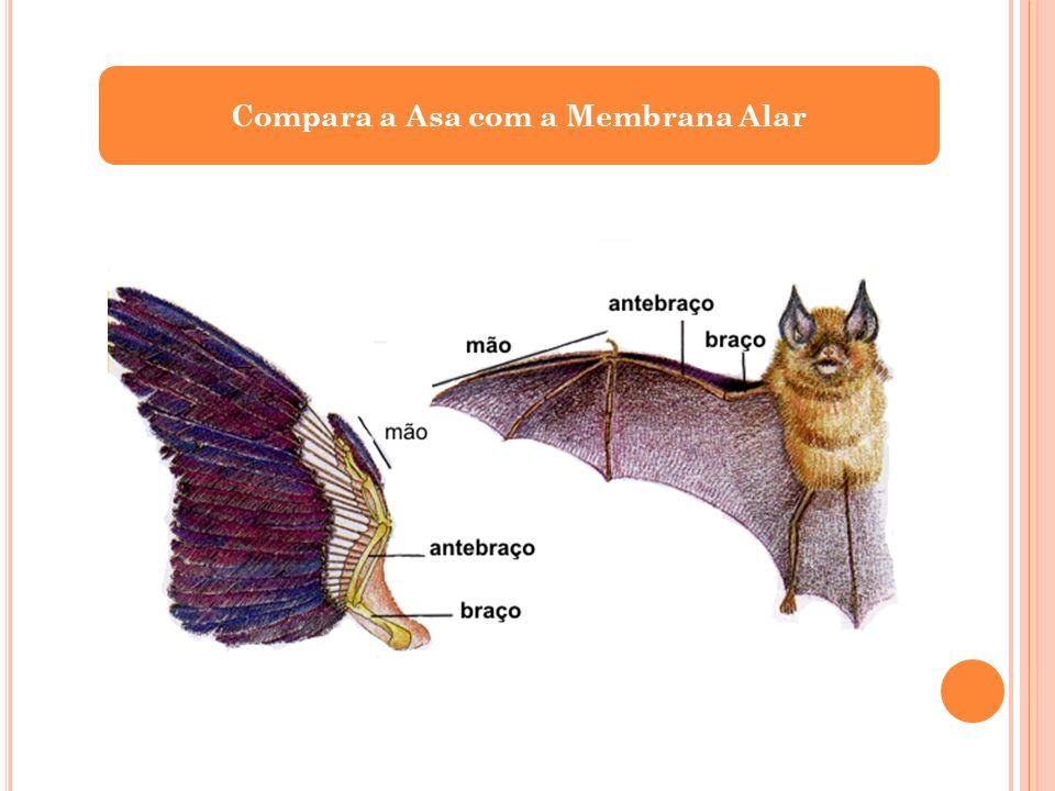 Compara a Asa com a Membrana Alar