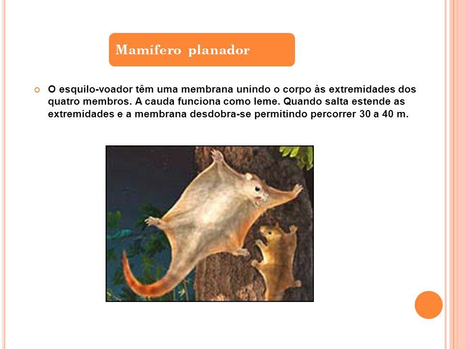 O esquilo-voador têm uma membrana unindo o corpo às extremidades dos quatro membros.