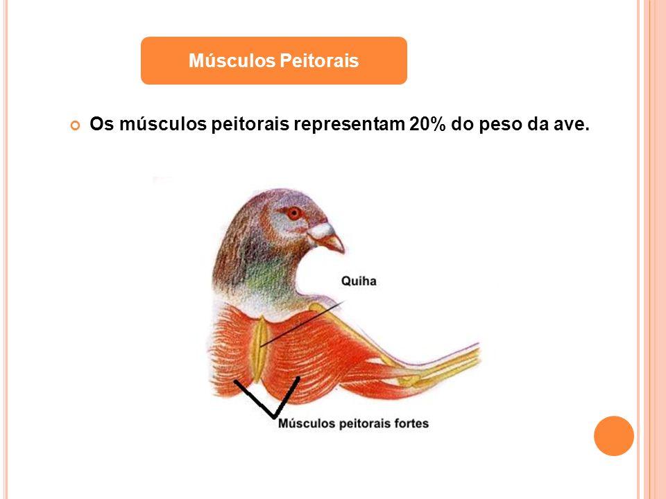 Os músculos peitorais representam 20% do peso da ave. Músculos Peitorais