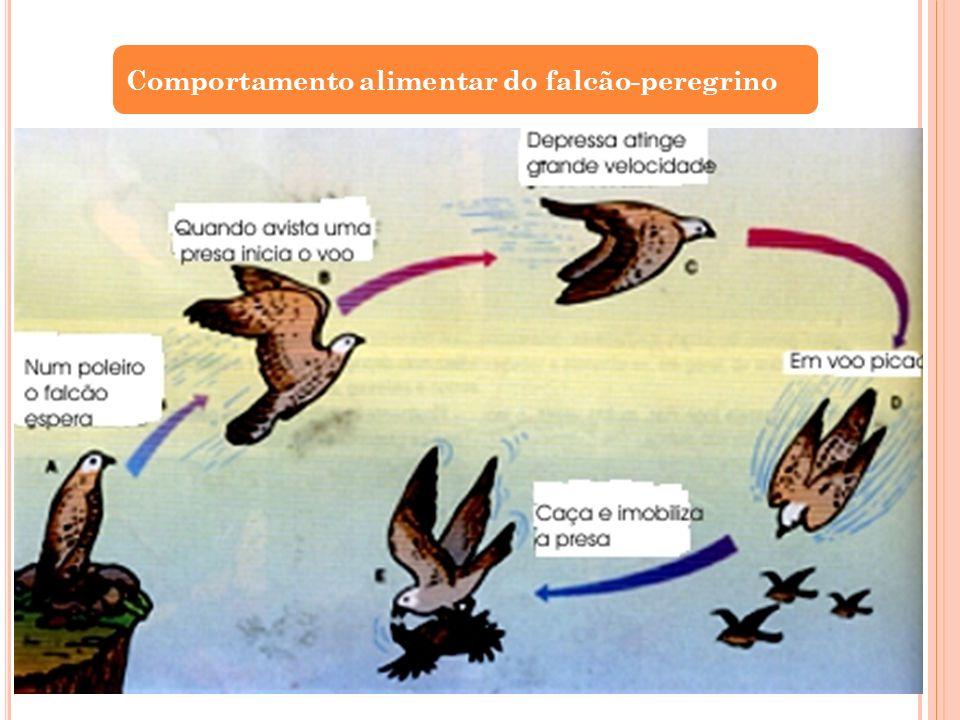 Comportamento alimentar do falcão-peregrino
