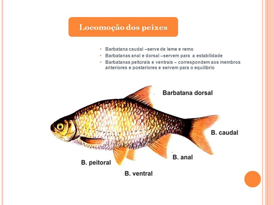 Barbatana caudal –serve de leme e remo Barbatanas anal e dorsal –servem para a estabilidade Barbatanas peitorais e ventrais – correspondem aos membros
