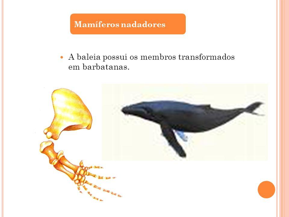 A baleia possui os membros transformados em barbatanas. Mamíferos nadadores