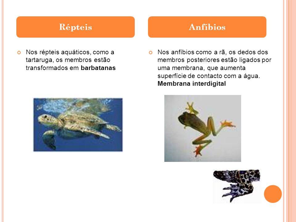 Nos répteis aquáticos, como a tartaruga, os membros estão transformados em barbatanas RépteisAnfíbios Nos anfíbios como a rã, os dedos dos membros pos