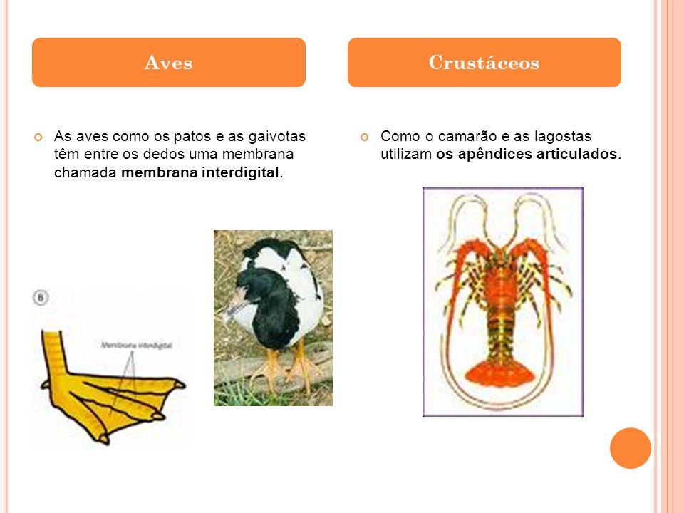 As aves como os patos e as gaivotas têm entre os dedos uma membrana chamada membrana interdigital. Como o camarão e as lagostas utilizam os apêndices