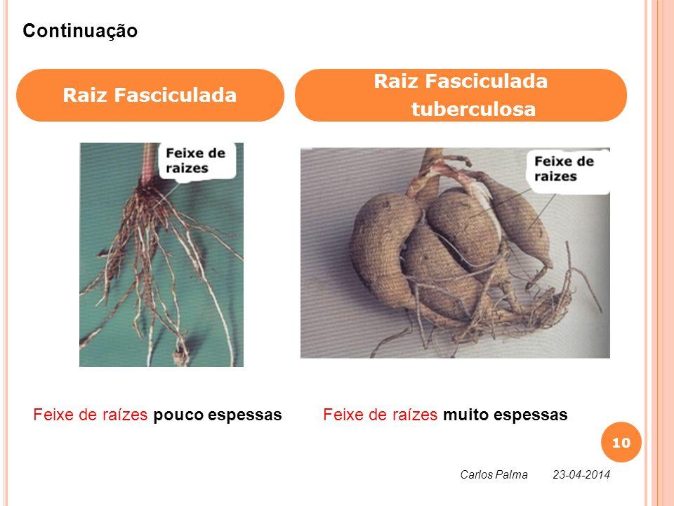Raiz Fasciculada tuberculosa Continuação Feixe de raízes pouco espessasFeixe de raízes muito espessas 10 Carlos Palma 23-04-2014